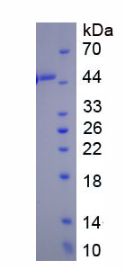 Recombinant Bone Morphogenetic Protein 8A (BMP8A)