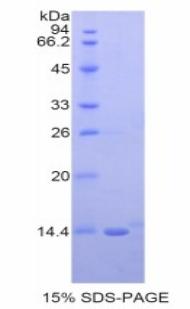 Recombinant Neuregulin 2 (NRG2)