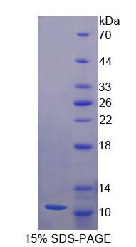 Recombinant Neuregulin 4 (NRG4)