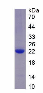 Recombinant Anterior Gradient Protein 2 (AGR2)