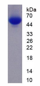 Recombinant Cholinergic Receptor, Nicotinic, Alpha 7 (CHRNa7)