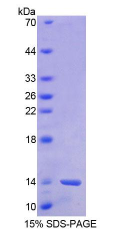 Recombinant Barrier To Autointegration Factor 1 (BANF1)