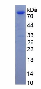 Recombinant Heat Shock 70kDa Protein 5 (HSPA5)