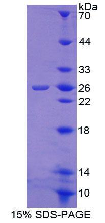 Recombinant Calneuron 1 (CALN1)