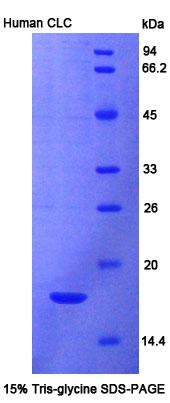 Recombinant Charcot Leyden Crystal Protein (CLC)