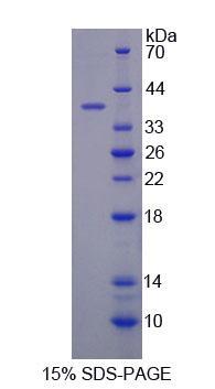 Recombinant Cytochrome C Oxidase Subunit VIc (COX6c)