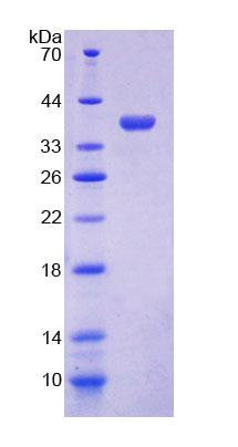 Recombinant Cytochrome C Oxidase Subunit VIc (COX6c)