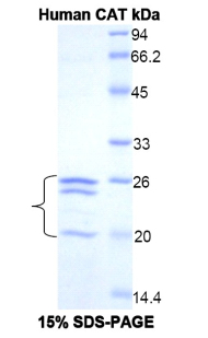 Recombinant Catalase (CAT)