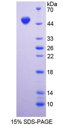 Recombinant Dystrophin Associated Glycoprotein 1 (DAG1)