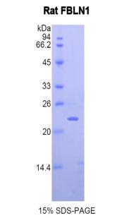 Recombinant Fibulin 1 (FBLN1)