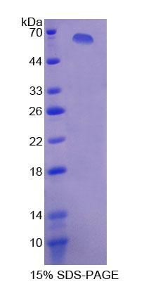 Recombinant Xanthine Dehydrogenase (XDH)