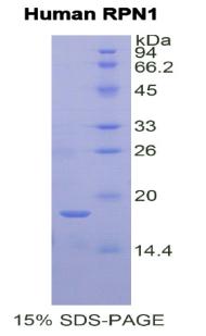 Recombinant Ribophorin I (RPN1)