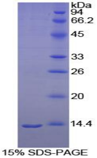 Recombinant Melatonin Receptor 1A (MTNR1A)
