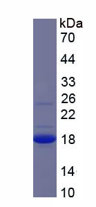 Recombinant Carcinoembryonic Antigen Related Cell Adhesion Molecule 3 (CEACAM3)