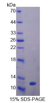 Recombinant Glutathione Peroxidase 3, Plasma (GPX3)