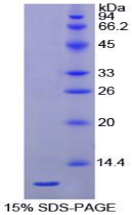 Recombinant Heat Shock 70kDa Protein 8 (HSPA8)