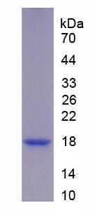 Recombinant Urocortin 3 (UCN3)