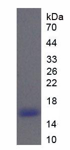 Recombinant Ribonuclease A6 (RNASE6)