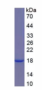 Recombinant Keratin 6A (KRT6A)