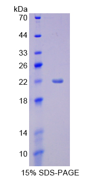 Recombinant Cytochrome P450 3A4 (CYP3A4)