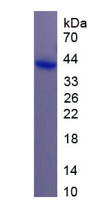 Recombinant Myosin VA (MYO5A)
