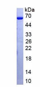Recombinant Protein Tyrosine Phosphatase Receptor Type N2 (PTPRN2)