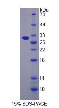 Recombinant ATP Binding Cassette Transporter B5 (ABCB5)