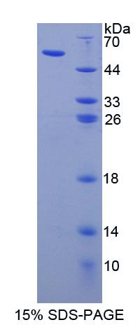 Recombinant Apolipoprotein L (APOL1)
