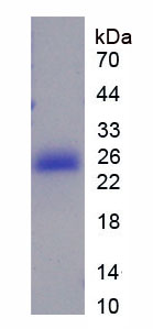 Recombinant High Mobility Group Box Protein 4 (HMGB4)