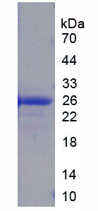 Recombinant High Mobility Group Box Protein 3 (HMGB3)