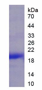 Recombinant Tryptase Gamma 1 (TPSg1)