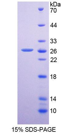 Recombinant Dipeptidyl Peptidase 6 (DPP6)