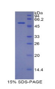 Recombinant Solute Carrier Family 3, Member 2 (SLC3A2)