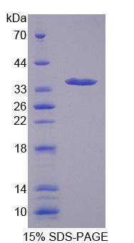 Recombinant Mitoferrin (MFRN)