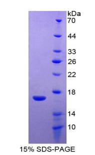 Recombinant WAP Four Disulfide Core Domain Protein 5 (WFDC5)
