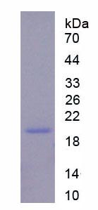 Recombinant Regenerating Islet Derived Protein 3 Gamma (REG3g)