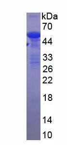 Recombinant Tubulin Alpha 1B (TUBa1B)