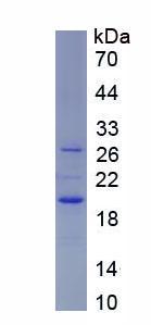 Recombinant Annexin A1 (ANXA1)
