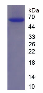 Recombinant Glutamate Receptor, Ionotropic, N-Methyl-D-Aspartate 2A (GRIN2A)
