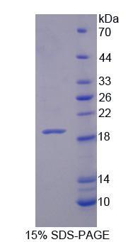 Recombinant Xylosyltransferase I (XYLT1)