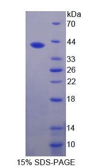 Recombinant Fucosyltransferase 6 (FUT6)