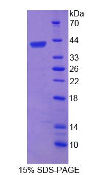 Recombinant Telomeric Repeat Binding Factor 2 (TERF2)