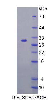 Recombinant Fibulin 7 (FBLN7)