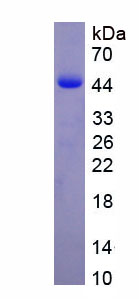 Recombinant Vesicle Associated Membrane Protein 8 (VAMP8)