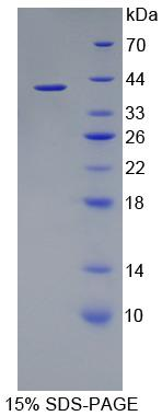 Recombinant Phosphodiesterase 1A, Calmodulin Dependent (PDE1A)