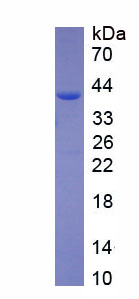 Recombinant Phosphodiesterase 5A, cGMP Specific (PDE5A)