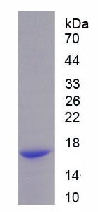 Recombinant Peroxiredoxin 5 (PRDX5)