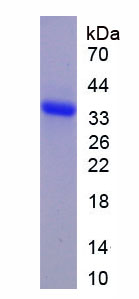 Recombinant Secreted Frizzled Related Protein 1 (SFRP1)