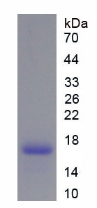 Recombinant Adenosine A2a Receptor (ADORA2a)