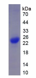Recombinant Chymase 1, Mast Cell (CMA1)